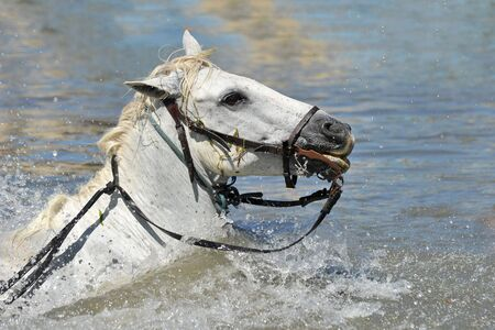 swimming Camargue horseswith bridle in the water photo
