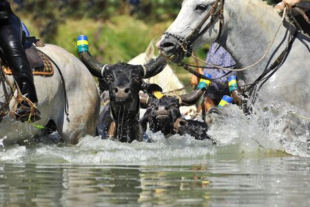 swimming bull and horses in the river photo