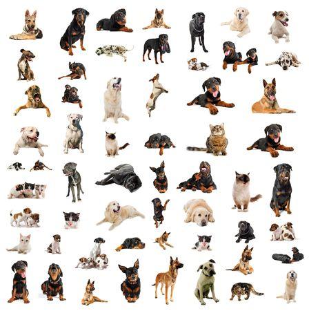 cats: i cani di razza pura, cuccioli e gatti su uno sfondo bianco