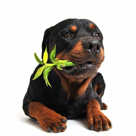 lucky bamboo: purebred rottweiler carrying a lucky bamboo on a white background