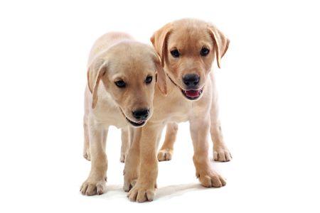 labrador puppy: two purebred puppies labrador retriever upright on a white background