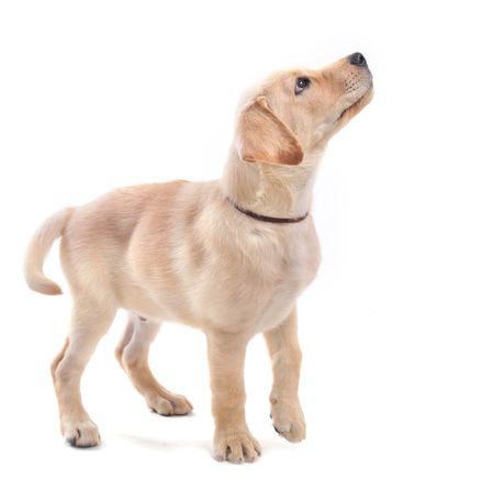purebred puppy labrador retriever upright on a white background photo