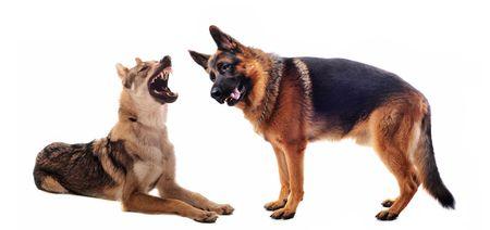 purebred Czechoslovakian Wolfdog angry and german shepherd photo