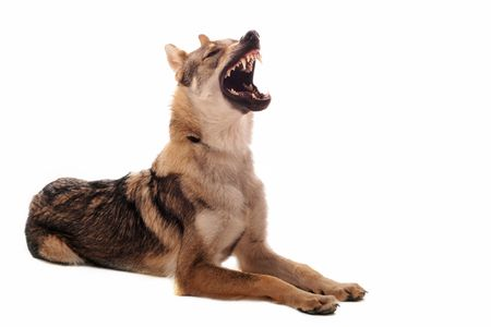 angry dog: purebred Czechoslovakian Wolfdog angry, with a copy space
