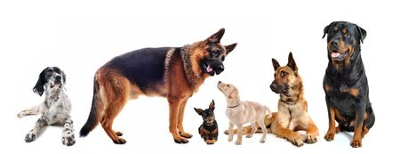 rottweiler: group of dogs in front of a white background