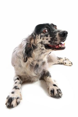 cute purebred english setter laid down in front of a white background photo