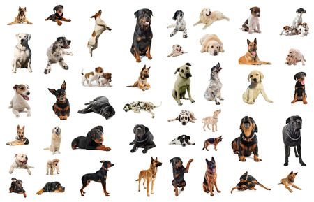 rottweiler: composite picture with purebred  dogs in a white background