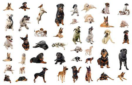 perro labrador: imagen compuesta con perros de raza pura en un fondo blanco