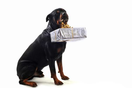purebred rottweiler sitting with gift isolated over white background photo