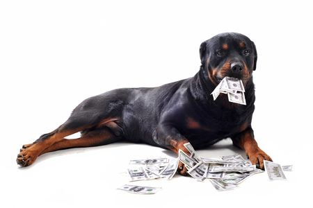 isolated on the white background: Funny rottweiler holds dollars in mouth, isolated white background