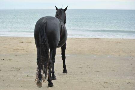 black horses: back of black stallion on the beach Stock Photo