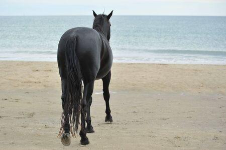 caballo de mar: parte posterior del semental negro en la playa Foto de archivo