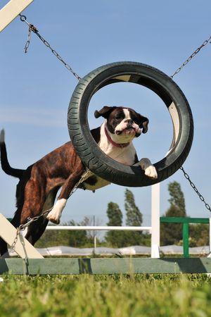 beautiful purebred boxer jumping in a circle  photo