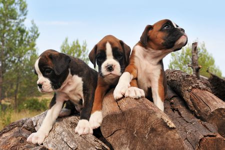three purebred puppies boxer on the wood