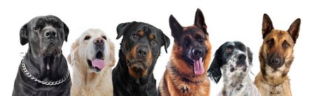 cane collars: composite picture with purebred  dogs in a white background