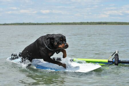 purebred rottweiler jumping on a windsurf in the sea Stock Photo
