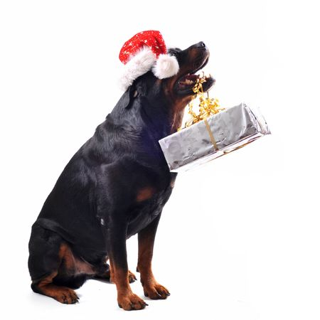 purebred rottweiler sitting with gift and woman in a red dress photo