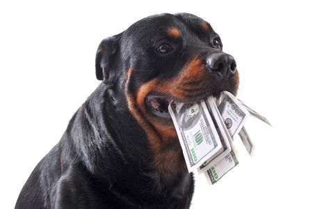 animal mouth: Funny rottweiler holds dollars in mouth, isolated white background