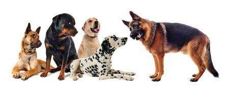 obedience: Grupo de cinco perros sobre un fondo blanco  Foto de archivo