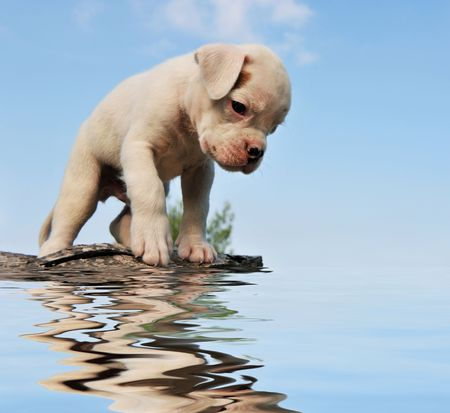 purebred puppy white boxer with his reflection in the water photo