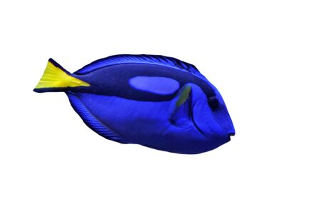 paracanthurus: Wedgetailed Blue Tang (Paracanthurus hepatus) on a white background