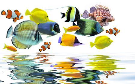 acanthurus leucosternon: group of fishes on a white background Stock Photo