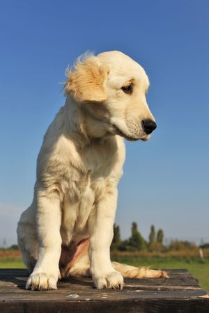 purebred puppy golden retriever on a table outdoors photo
