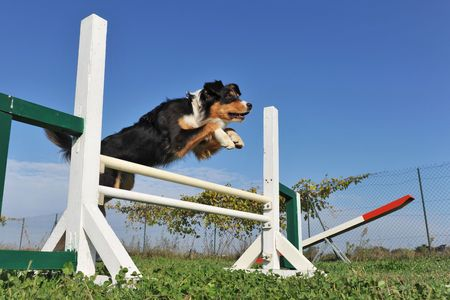 Agility: jumping purebred australian shepherd  in the grass