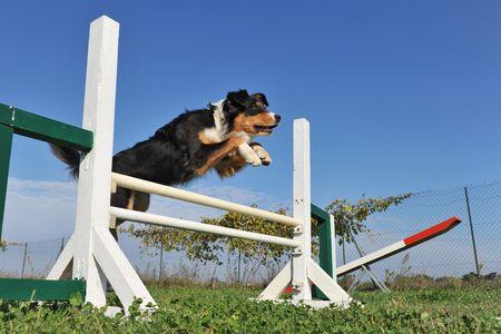 jumping purebred australian shepherd in the grass