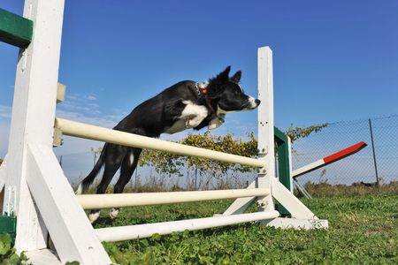 jumping purebred puppy border collie on a blue sky photo