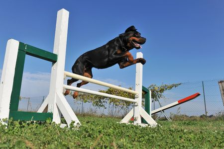 obediência: purebred rottweiler jumping in a training of agility