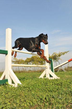 purebred doberman jumping in a training of agility photo