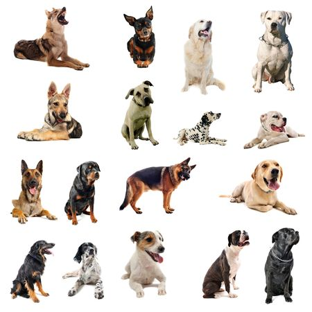boxer dog: composite picture with purebred  dogs in a white background