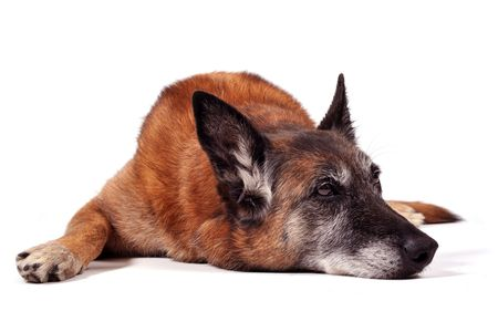 dog portrait: old purebred belgian sheepdog malinois laid down in front of white background Stock Photo