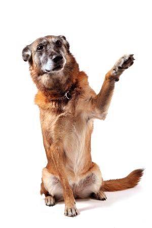 old purebred belgian sheepdog malinois sitting in front of white background