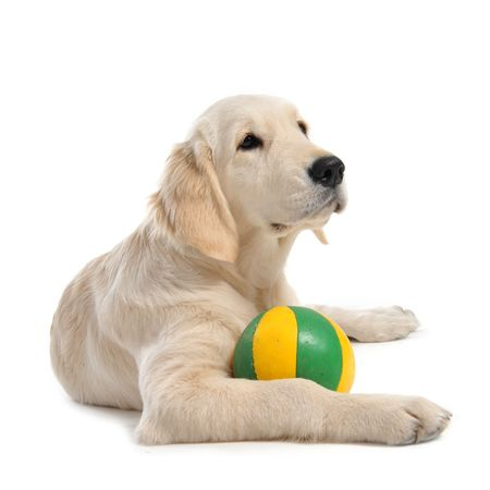 hunting dog: purebred puppy golden retriever in front of a white background Stock Photo
