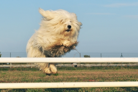 maltese dog: jumping purebred maltese dog in a training of agility