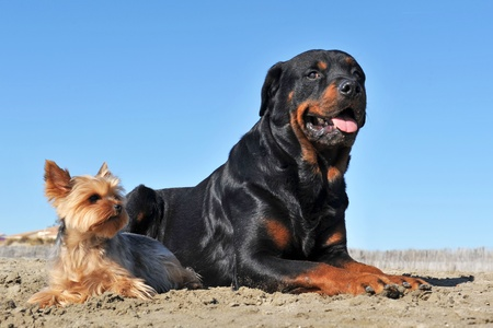 portrait of a purebred rottweiler and a yorkshire terrier on the beach photo