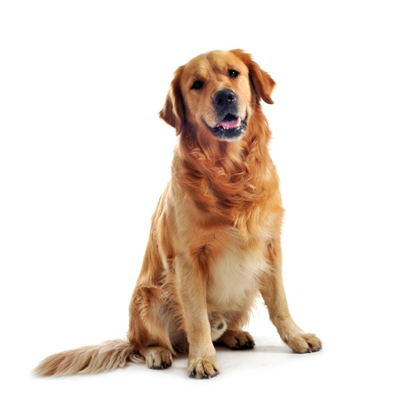 purebred golden retriever sitting in front of a white background Stock Photo