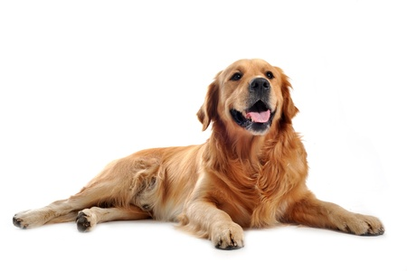 retriever: purebred golden retriever laid down in front of a white background