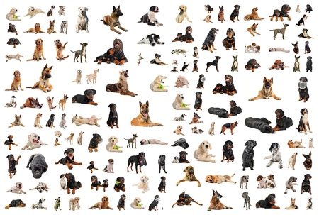 composite picture with purebred  dogs in a white background photo