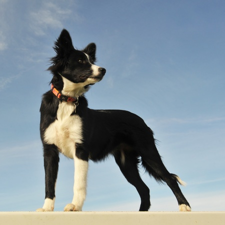 border collie: portrait of a purebred puppy border collie on a blue sky Stock Photo