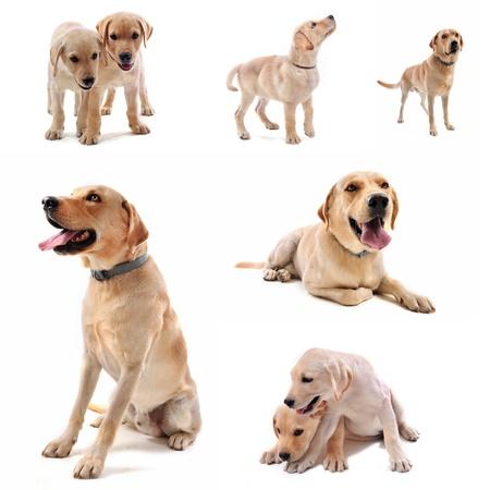 purebred  labrador retriever in front of a white background Stock Photo