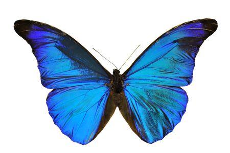 fragility: Blue Morpho butterfly (Morpho retenor) from South America.