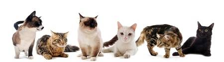 birman kitten: beautiful purebred cats on a white background Stock Photo