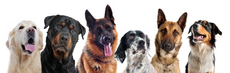 shepherd dog: composite picture with purebred   dogs in a white background Stock Photo