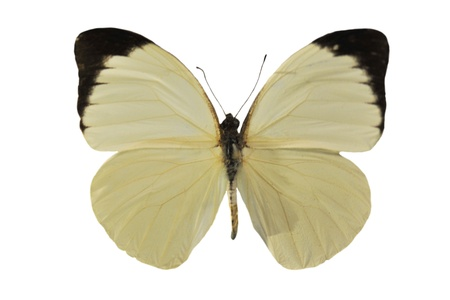 beautiful white  butterfly in front of white background (Pieris brassicae) photo