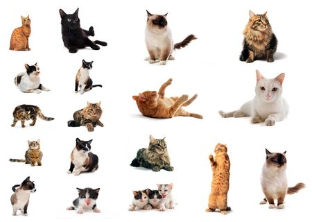 siamese cat: group of cat in front of a white background