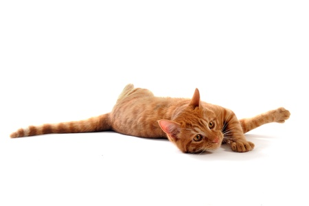 ginger cat: ginger cat laid down in front of white background