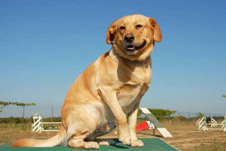 purebred labrador retriever  in a training of agility photo